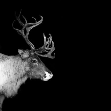 lapland: an adult reindeer from swedish lapland