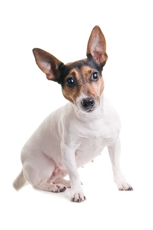 cute jack russel terrier on a white background photo