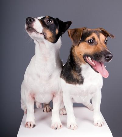 studio shot of cute jack russel terriers photo