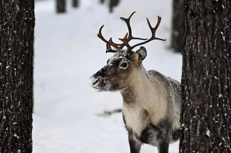 Reindeer in its natural habitat in the north of Sweden