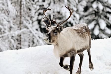 artic: Reindeer in its natural habitat in the north of Sweden