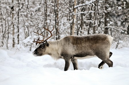 Reindeer in its natural habitat in the north of Sweden