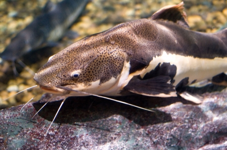 close up of a large catfish