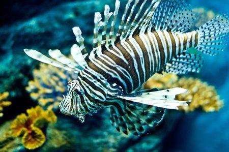 dangerous lion: a beautiful but dangerous lion fish Stock Photo