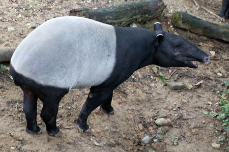 Malayan Tapir (Tapirus indicus), also called the Asian Tapir
