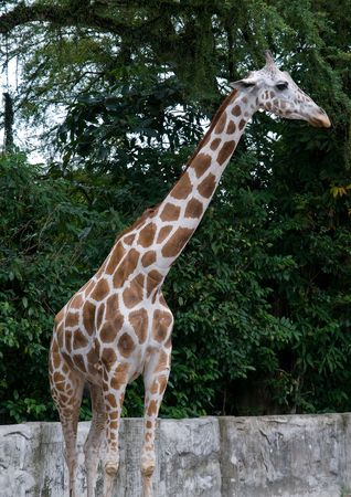 giraffa: a tall giraffe (Giraffa camelopardalis)