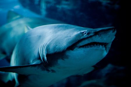 close up of a curious shark Stock Photo - 5290315