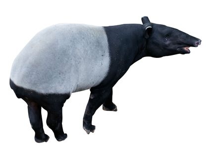 a malayan tapir animal on white background