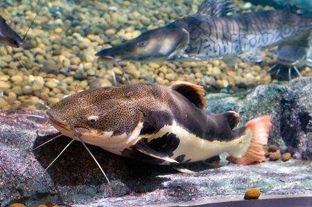 close up of a large catfish photo