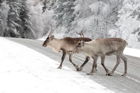 reindeer in its natural environment in scandinavia Stock Photo - 6243061