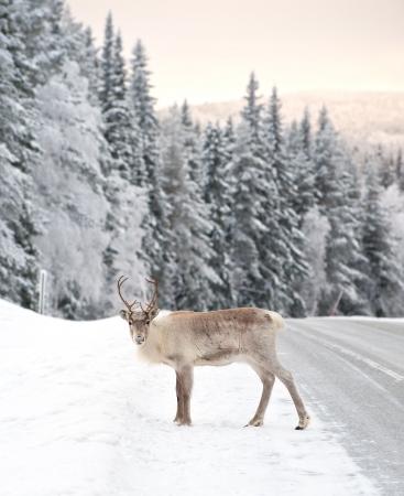 lapland: reindeer in its natural environment in scandinavia