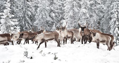 caribou: reindeer in its natural environment in scandinavia