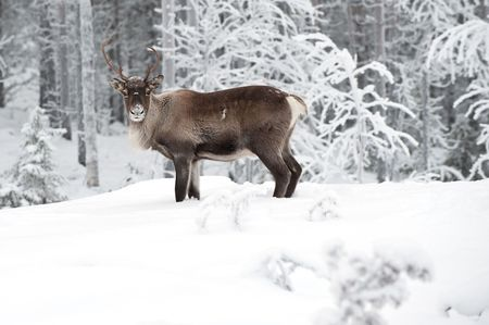 reindeer in its natural environment in scandinavia