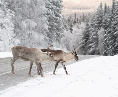 lapland: reindeer crossing a road in its natural environment in scandinavia Stock Photo