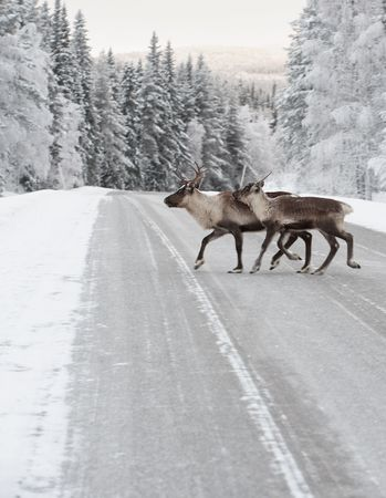 reindeer crossing a road in its natural environment in scandinavia Stock Photo