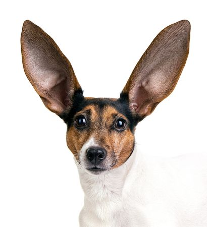 cute jack russel terrier with huge ears on a white background Stock Photo