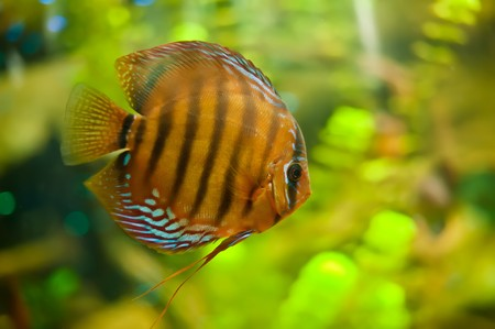 a colorful discus fish from South America Stock Photo - 7432842