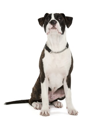american staffordshire terrier: American Staffordshire Terrier on a white background