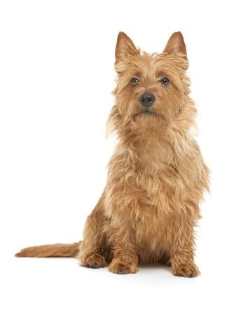 a cute australian terrier on whita background