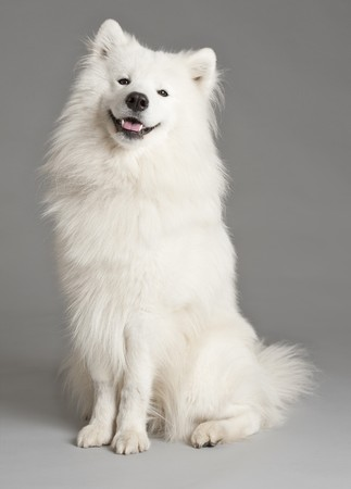 portrait of a a cute samoyed dog