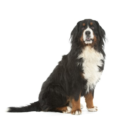 berner: A Berner sennen dog (Bouvier Bernois) on a white background