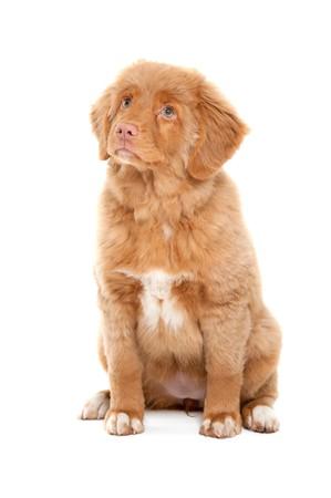 Nova Scotia: a young puppy of the Nova Scotia Duck Tolling Retriever breed