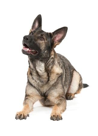 shephard: un cane giovane tedesco shephard della variet� grigio