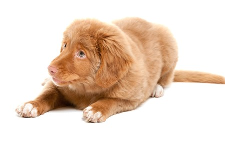 scotia: a young puppy of the Nova Scotia Duck Tolling Retriever breed