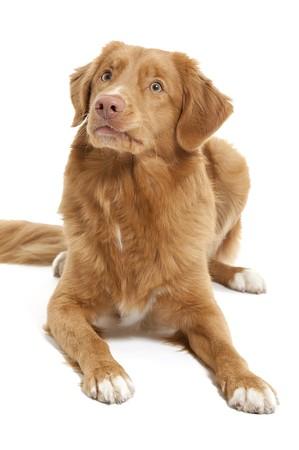 a dog of the Nova Scotia Duck Tolling Retriever breed photo
