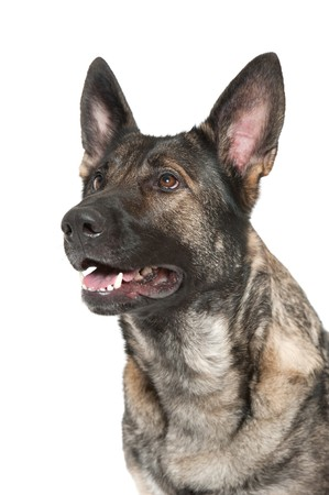 shephard: a young german shephard dog of the gray variety Stock Photo