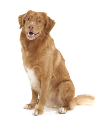 scotia: a dog of the Nova Scotia Duck Tolling Retriever breed Stock Photo