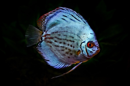 diskus: a colorful discus fish on a dark background
