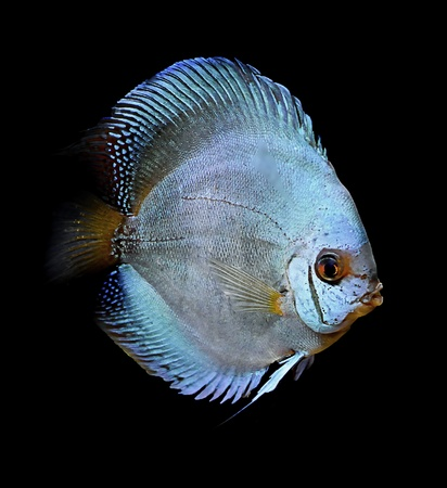 colorful tropical fish of the Symphysodon discus spieces Stock Photo - 8854291