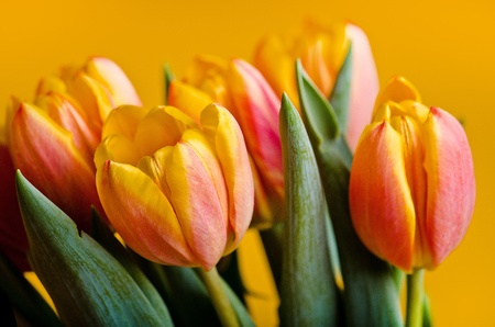 close up of a group of colorful tulips photo