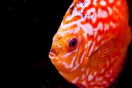 symphysodon: a colorful south american discus fish