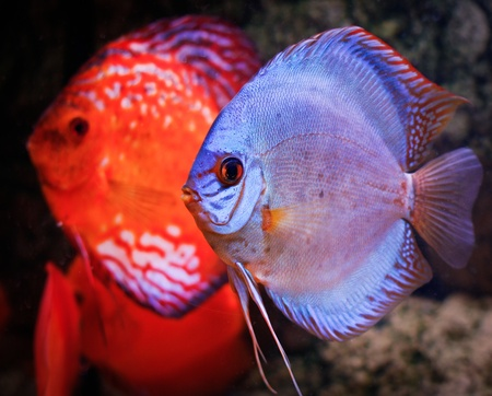 a colorful south american discus fish
