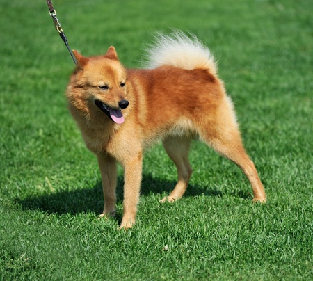 sennen: a beautiful specimen of a finnish spitz dog Stock Photo