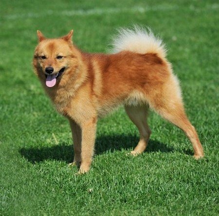a beautiful specimen of a finnish spitz dog Stock Photo - 9986042