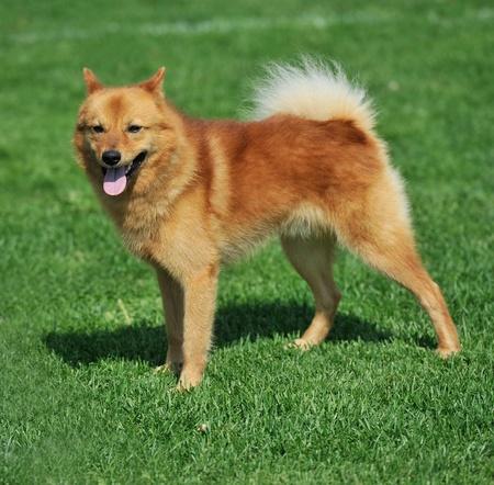 finland�s: un hermoso ejemplar de un perro spitz finland�s Foto de archivo
