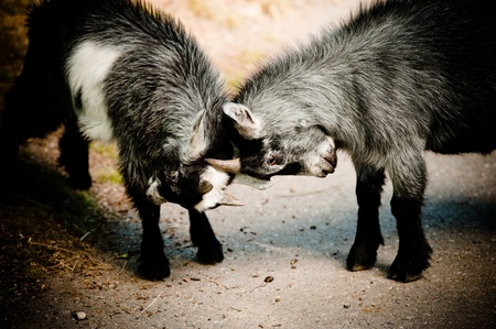 two young cute goats fighting each other photo