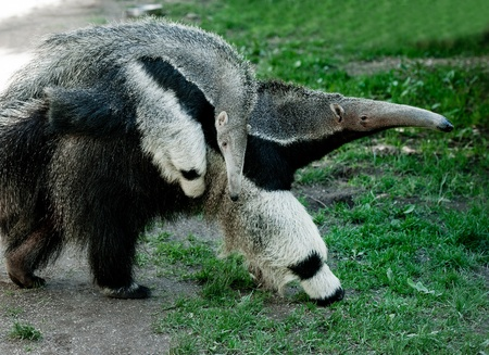 a gigant anteater (Myrmecophaga tridactyla) with a baby on its back