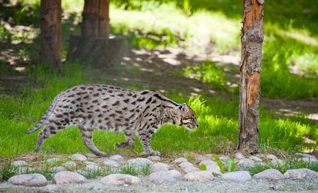 prionailurus: a fishing cat (Prionailurus viverrinus) on the prowl Stock Photo