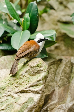 white crested laughingthrush: a white-crested laughingthrush sitting on a rock