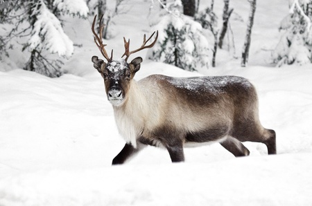 a scandinavian reindeer in its natural environment photo