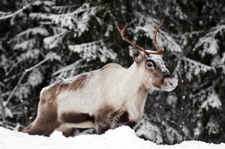 lapland: a scandinavian reindeer in its natural environment Stock Photo