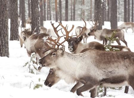 renna: renne nel suo habitat naturale d'inverno nel nord della Svezia Archivio Fotografico