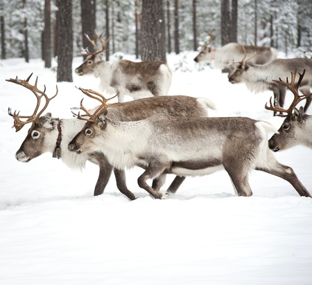 reindeer in its natural winter habitat in the north of Sweden Stock Photo - 12970100