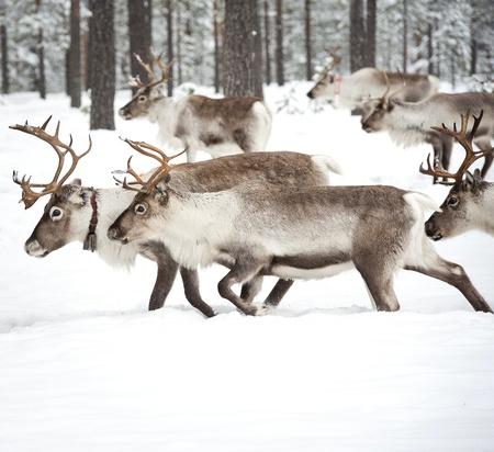sweden winter: reindeer in its natural winter habitat in the north of Sweden