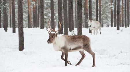 reindeer in its natural winter habitat in the north of Sweden
