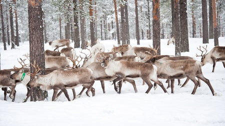 reindeer in its natural winter habitat in the north of Sweden photo